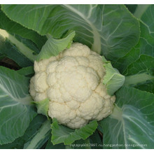 HCF12 скороспелость ти F1 гибрид семена белый цветная капуста для посадки