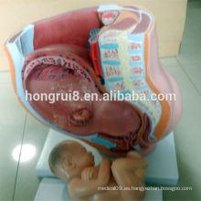 Modelo de pelvis femenino Vivid de ISO, pelvis con modelo de feto