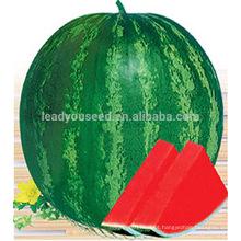 W06 Quanxin tamanho grande sementes de melancia híbrido sem sementes plantio