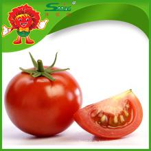 Export von frischen Tomaten