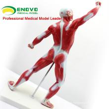 MUSCLE05 (12028) Kleine männliche Muskeln und Skelett Anatomie Modell 12028