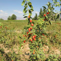 Native Health Food Red Wolfberry
