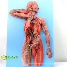 HEART13 (12489 Modèle du système lymphatique humain pour la communication avec les patients hospitalisés