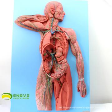 HEART13 (Modelo del sistema linfático humano 12489 para la comunicación del paciente hospitalario