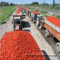 Fresh Canned Tomato Paste of 70g-4500g