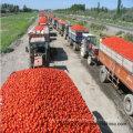 Pasta de tomate fresco em conserva de 70g-4500g