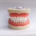 China Medical Anatomical Model Soft Gum 32 Teeth Standard Dental Jaw Model 13012