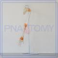 PNT-01081 life size human arm bone model hand hospital used