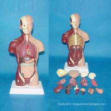 28cm American Musclar Torso Medical Anatomy Body Model