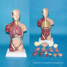 28cm American Musclar Torso Medical Anatomy Body Model
