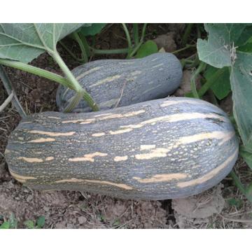 HPU11 Kuangba marteau orange F1 graines de citrouille hybrides