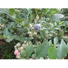 IQF Морозильная / сублимированная органическая черника Zl-001 7