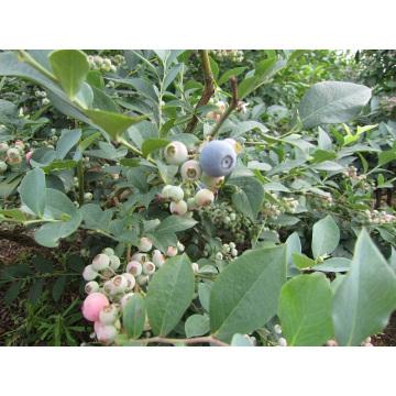 IQF Freezing Organic Blueberry Zl-100066