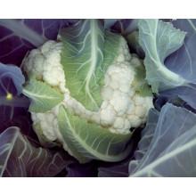 HCF13 Gousier гибрид F1 семена капусты
