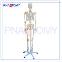 PNT-0104 180cm 175cm grandeur nature modèle squelette flexible