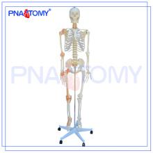 PNT-0104 180cm 175cm modelo de esqueleto flexível em tamanho real