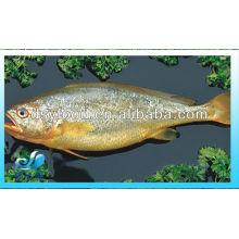 YELLOW CROAKER FISH(SEAFOOD)