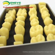VENDER 12573 modelo de anatomía del diente humano de resina con caja de aleación de embalaje portátil