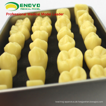 VERKAUF 12573 Harz menschlichen Zahn Anatomie Modell mit Legierung Box tragbare Verpackung