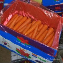 Qualité supérieure de la carotte chinoise fraîche