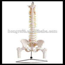 ISO Life-Size Vertebral Column with Pelvis and Femur Heads, Spine model, HR-126