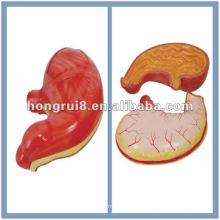 Модель анатомии человеческих желудочков человека HR-306