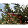 Year 2016 Bagged Red Star Apple From High Land