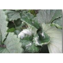 Ботанический пестицид против мучнистой росы на клубнике