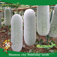 Suntoday acheter graines de légumes en ligne graines de jardin à vendre chiqi organique chi cire graines de melon (19006)