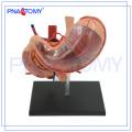 Modelo humano da biologia do estômago da venda quente PNT-0458
