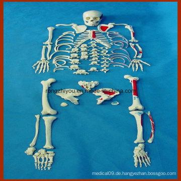 Life-Size Human Disarticulated Skeleton Modell mit gemalten Muskeln