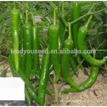 P28 Lvjian no.12 mid-early maturity hybrid green pepper seeds