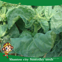 Suntoday vegetableF1 Organic Chinese Broccoli Whiter Flowering hybrid Broccoli Kailaan seeds(35003)