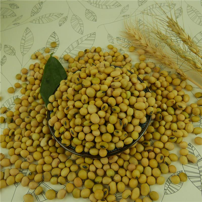 High Protein Organic Natural Yellow Soybean