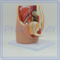 PNT-0580 life size female reproductive system pictures print