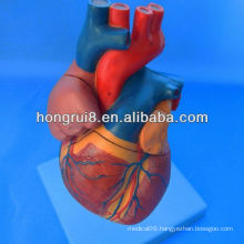ISO Advanced Anatomical Heart model, Medical Heart model
