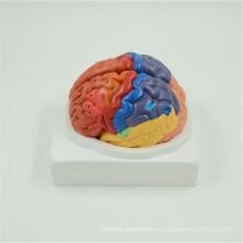 Precio al por mayor barato cerebro modelo 3 partes