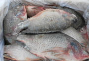 Newly processed frozen food WR / GS / GGS tilapia
