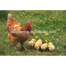 Probióticos de sulfato de cobre para aves de corral