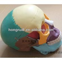 ISO Life-Größe menschliches Schädelmodell mit farbigen Knochen, farbiger Schädel
