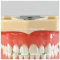China Medical Anatomical Model Soft Gingiva 28 Teeth Standard Dental Jaw Model 13016