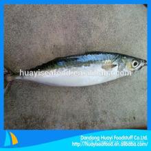 Frozen Pacific Mackerel Fish Seafrozen À usage commun