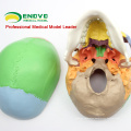 SKULL07 (12333) Medical Grade 3 Part Coloured Skull Model with Removable Jaw