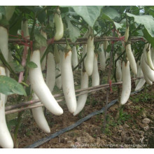 HE04 Sebei longues graines d'aubergines hybrides blanches pour la plantation
