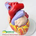 HEART04 (12480) Modelo anatómico del corazón humano de ciencia médica