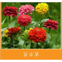 Hot sale good quality for Potmarigold Calendula Flower seed germination time supply to Cyprus Manufacturers