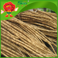 Burdock orgánico / Burdock fresco / raíz de bardana a granel
