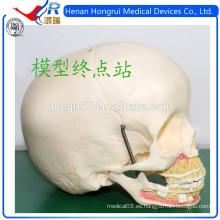 Modelo Cráneo Médico ISO de los Niños