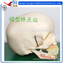 ISO Medical Skull Model of Children