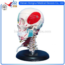 Modelo detallado del cráneo del adulto de la ISO con los colores que indican los músculos y los huesos